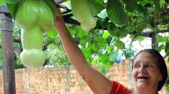PHOTO : L'arbre qui fait des fruits en forme de quéquettes